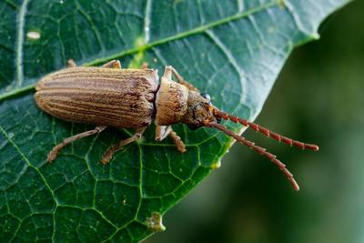 Dascillidae - Soft-bodied Plant Beetles
