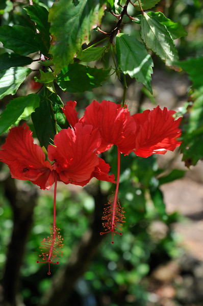 Audobon Botanical Gardens - Hibiscus - Oahu, Hawaii