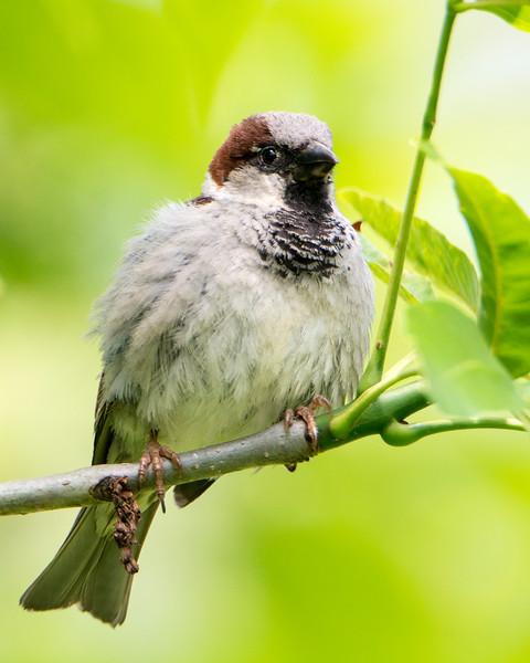 House Sparrow DX9006.jpg