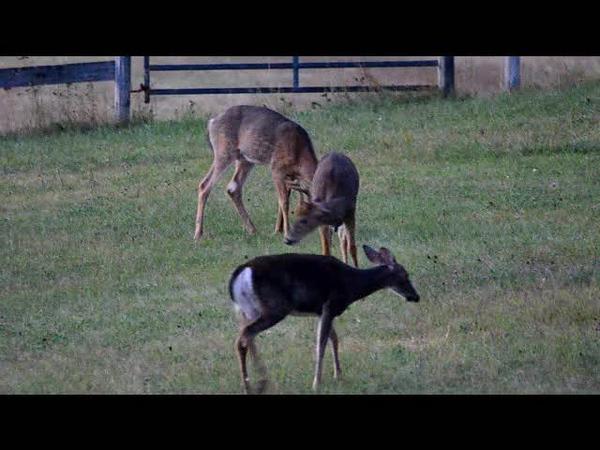 Deer in the field.wmv