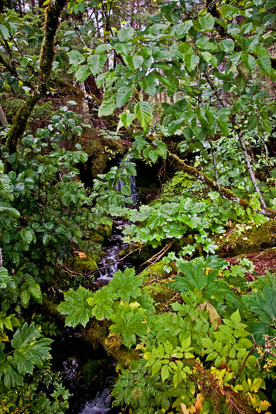 Rainforest on Chichagof Island