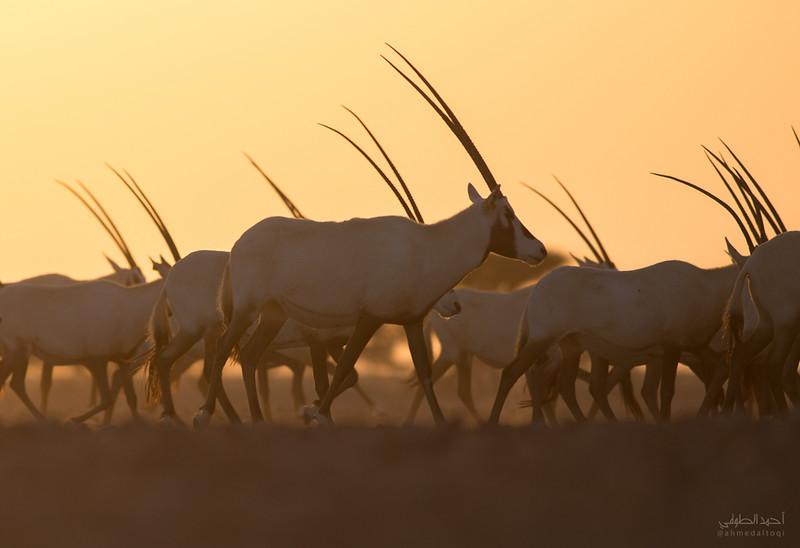 Arabian Oryx (16).jpg
