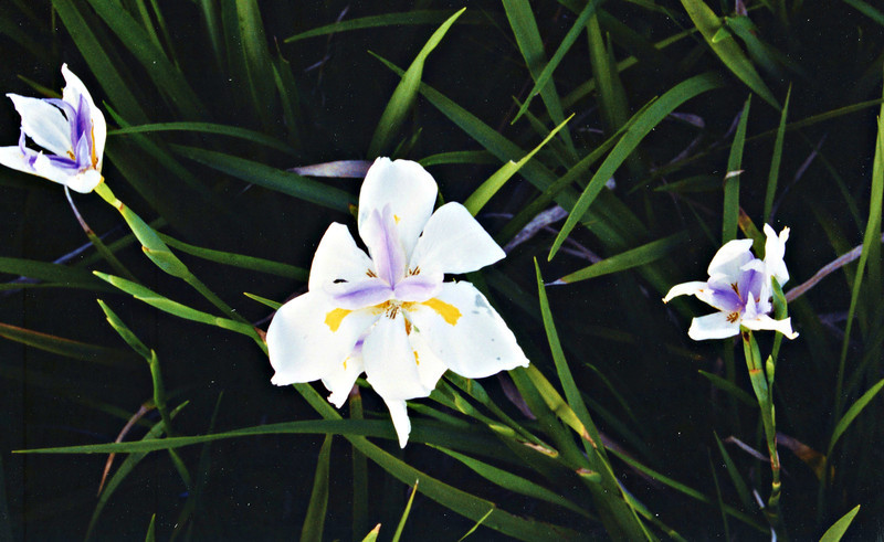 African Iris.