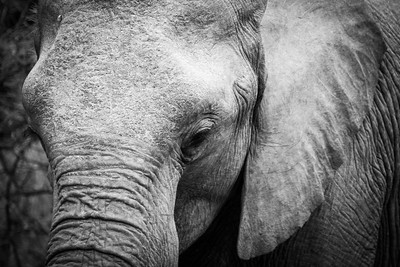 South Africa: B+W Elephant Collection