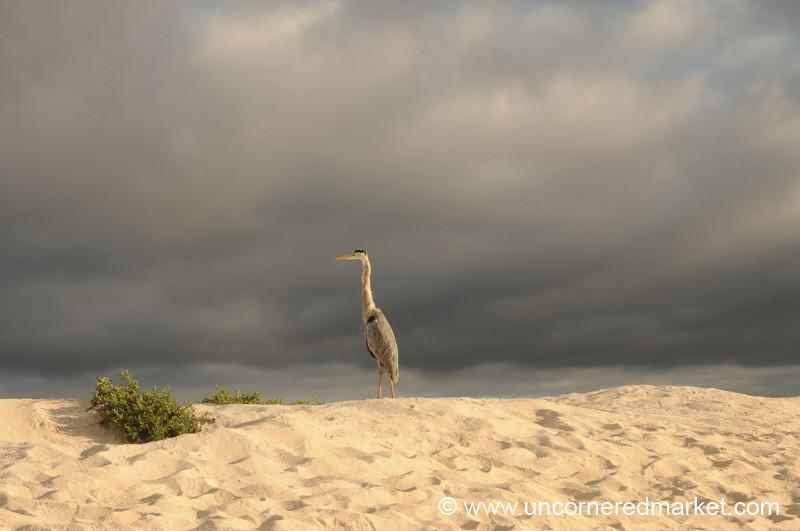 Mighty Heron - Galapagos Islands