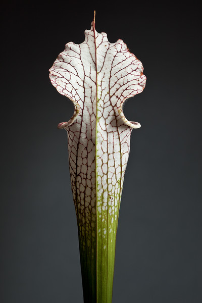 Sarracenia portraits - North American pitcher plants in cultivation