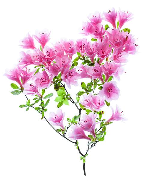 pink-azalea.jpg
