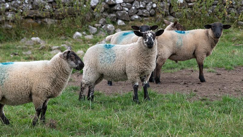 Sheep on a farm, Tuam, County Galway, Ireland