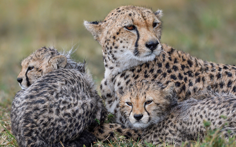 The-three-faces-cheetahs-masai-mara-1.jpg