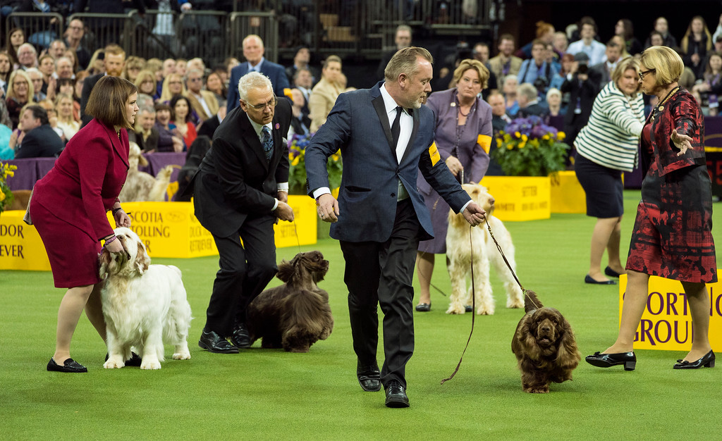 . Bean, a Sussex spaniel handled by Per Ingar Rismyhr, center, is called out by a judge just before winning the sporting group during the 142nd Westminster Kennel Club Dog Show, Tuesday, Feb. 13, 2018, at Madison Square Garden in New York. (AP Photo/Craig Ruttle)