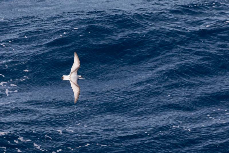 Antarctic Prion - Drake's Passage, Southern Ocean