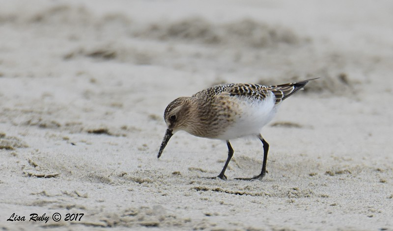 Baird's Sandpiper - 8/27/2017 - Imperial Beach near YMCA Surf Camp