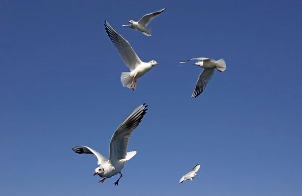 שחפים  - Gull