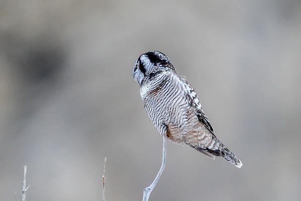 10 2013 Oct 30 Northern Hawk Owl*^