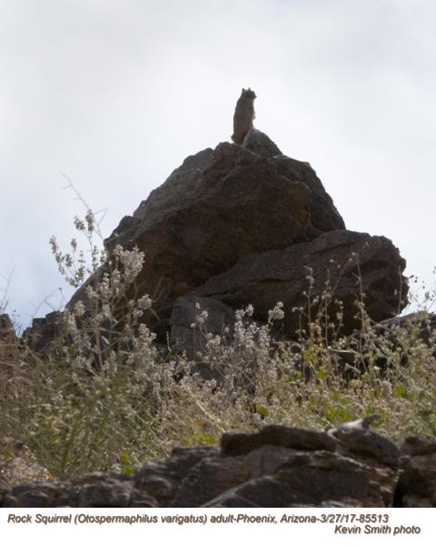 Rock Squirrel 85513.jpg