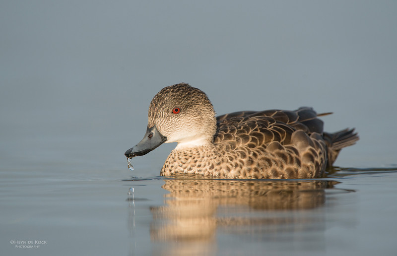 Grey Teal, Bellambi Lagoon, NSW, Aus, Jun 2013-1.jpg