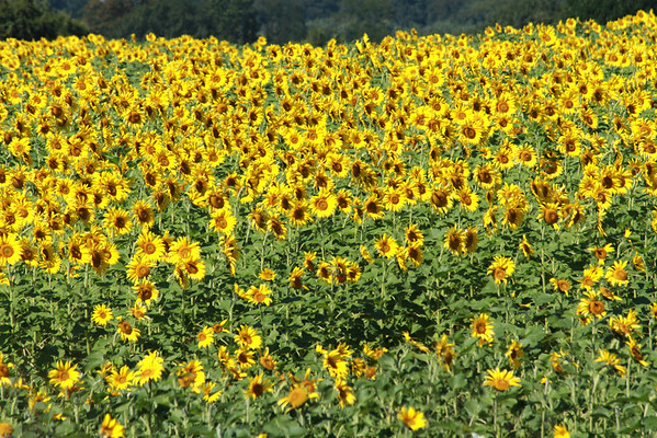 Longwood Sunflowers