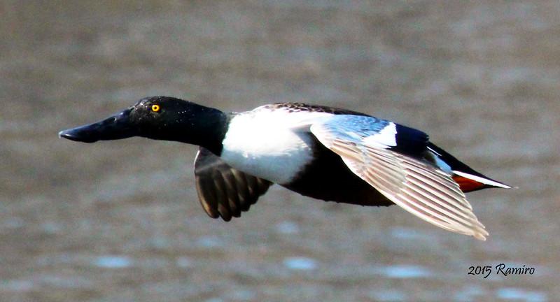 duck3 3-6-15 484.jpg