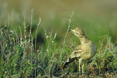 Stone-Curlew eats Snails