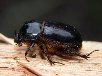 subfamily Dynastinae