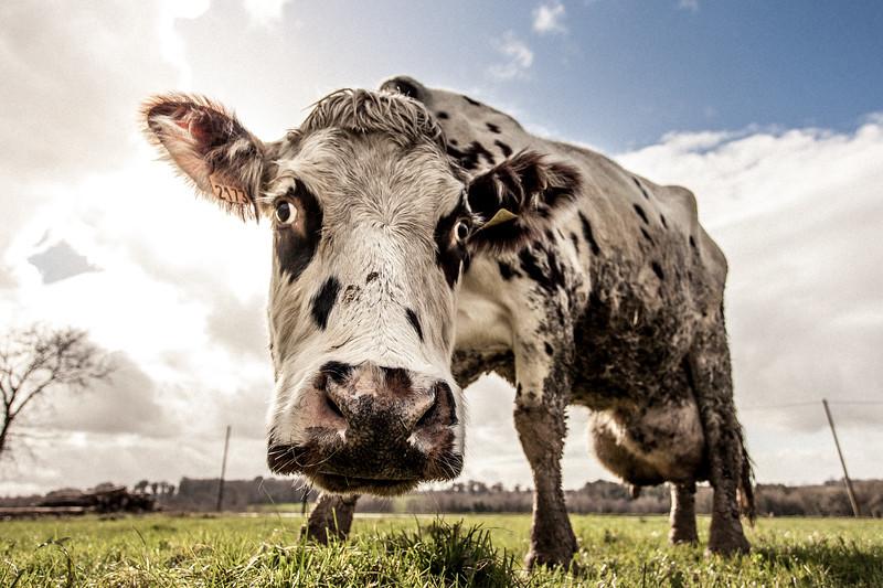 vache (10 sur 21).jpg