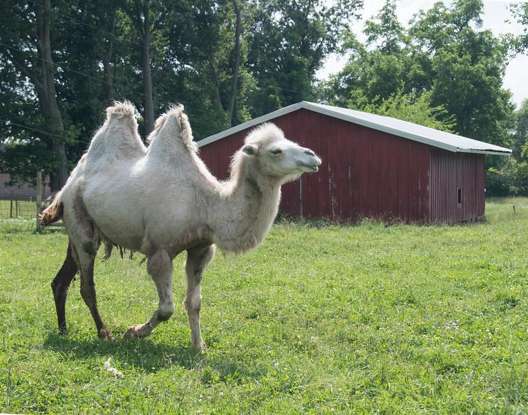 CamelWalk&redbarnDSC_1963.jpg