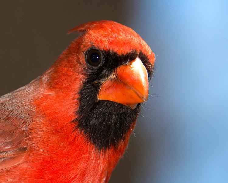 Song Birds