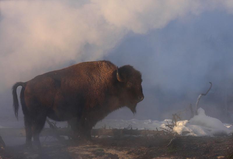 bison001.jpg