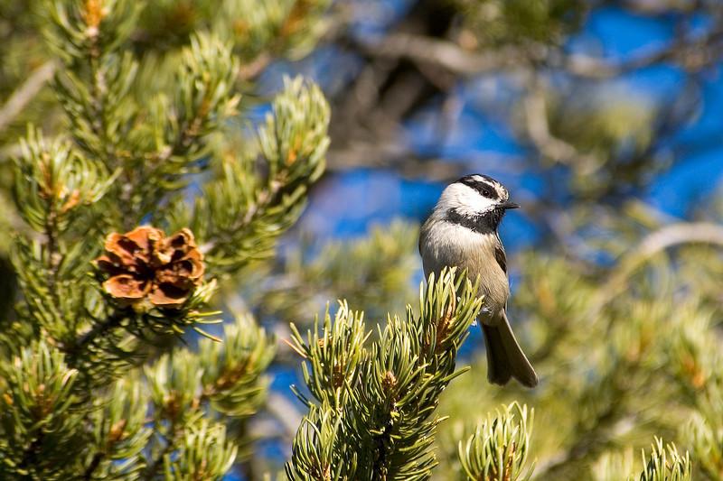 Chickadee - Mountain - Santa Fe, NM