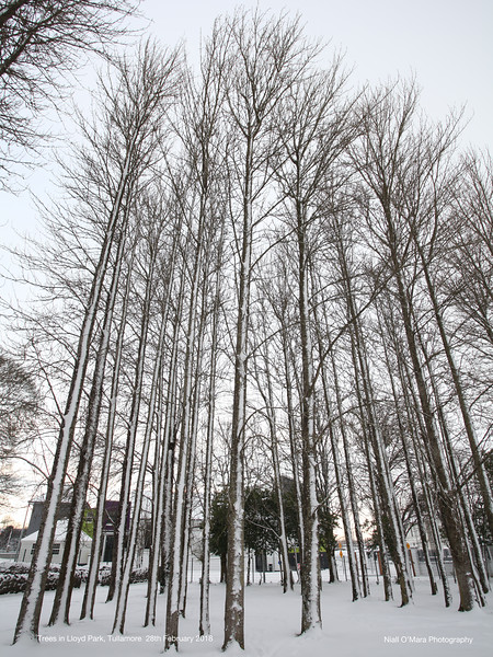 Trees in the Town Park Tullamore