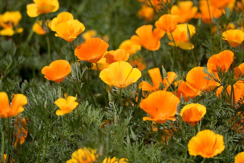 California Poppy copy.jpg
