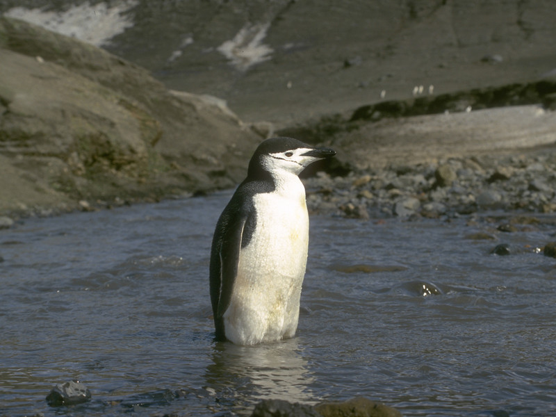 1996599 Cinstrap penguin in River.jpg