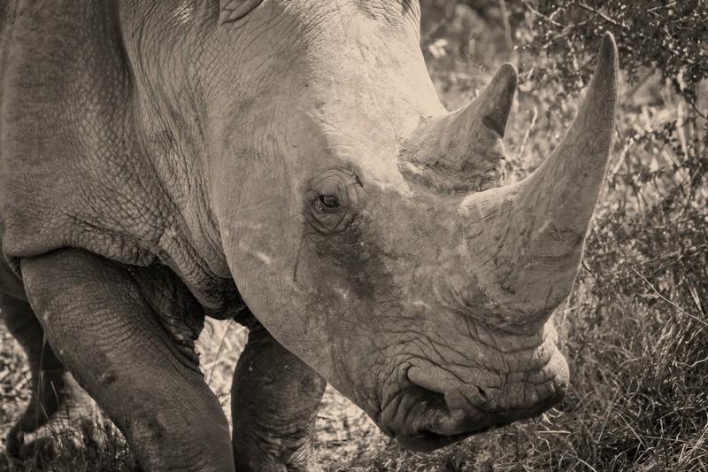 White Rhino B&W close up.jpg