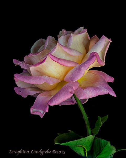 Rose on black 18stack ZS PMax B.jpg