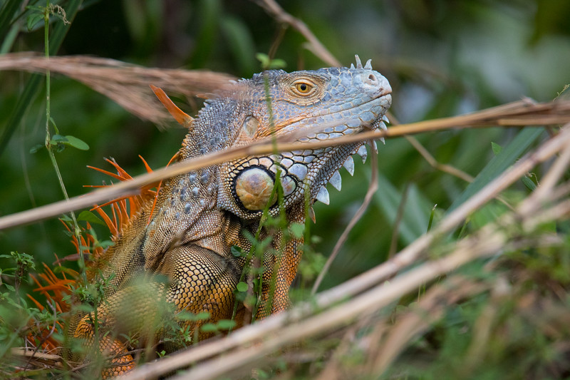 Green Iguana Lake Worth FL 2020-5.jpg