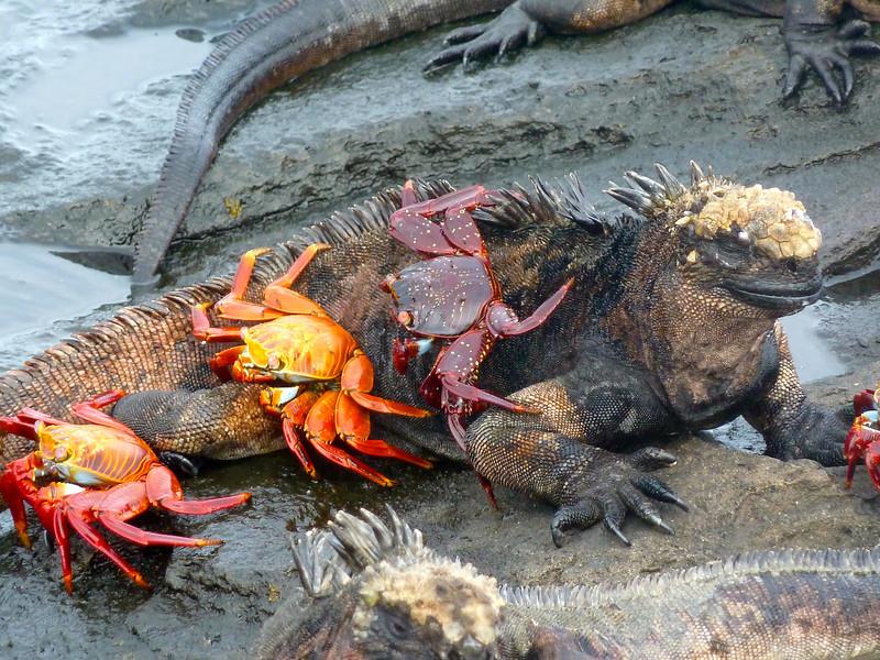 Galapagos Marine Iguana and Sally Crabs
