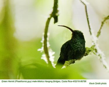 Green Hermit M86786.jpg