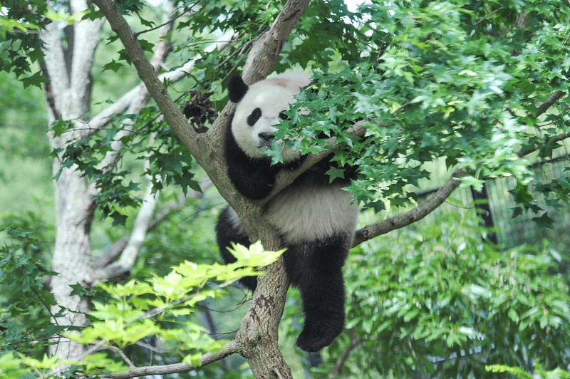 Bao Bao climbing in a tree