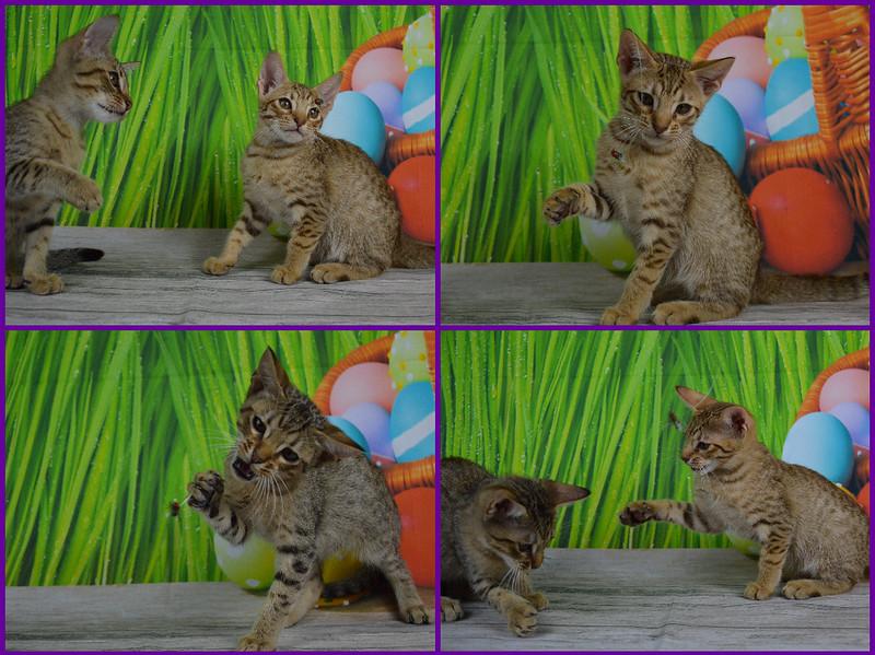 Boos kittens 12 weeks.jpg
