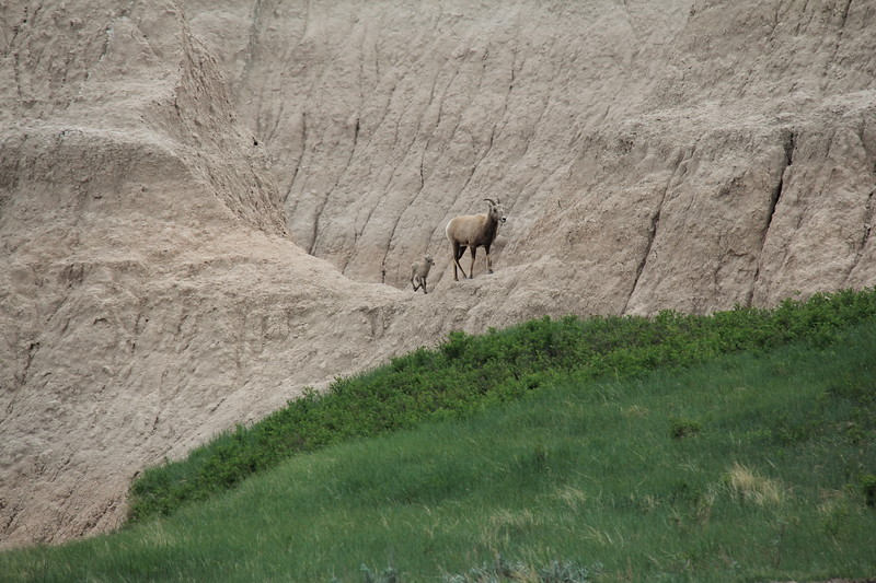 20140523-156-BadlandsNP-MountainGoats.JPG
