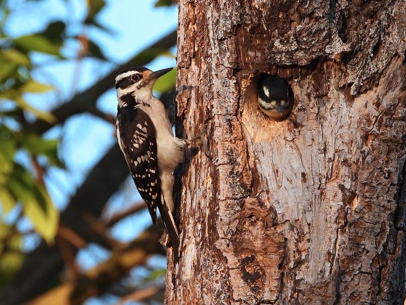 Hairy Woodpecker - adult female feeding nestling  (Photo by Don McLeod)