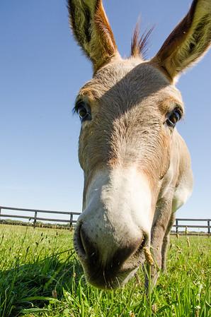 Diesel the Donkey