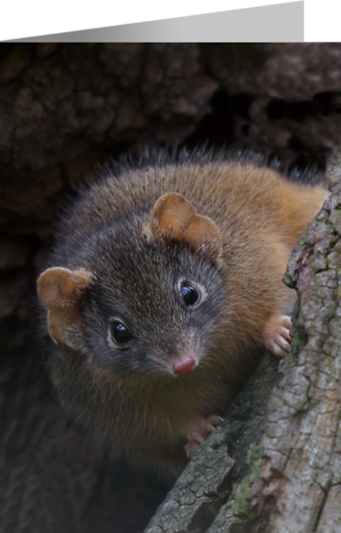 Yellow-footed Antechinus.png