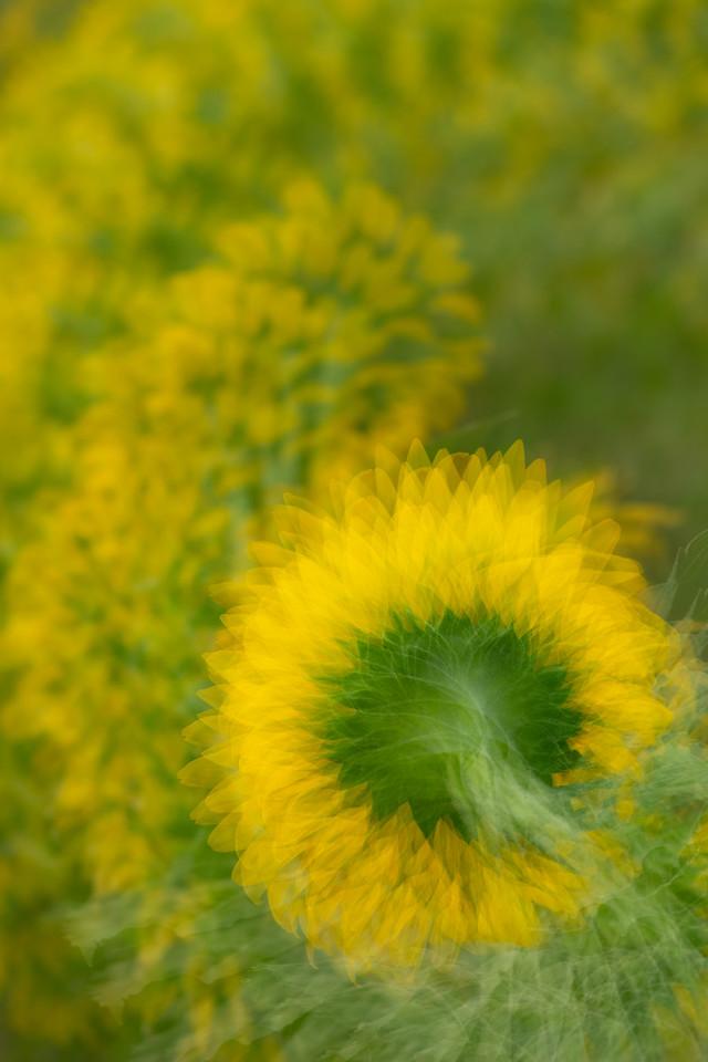 Sunflower Exploration