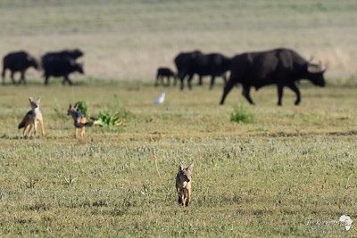 Black Backed Jackals in the Crater