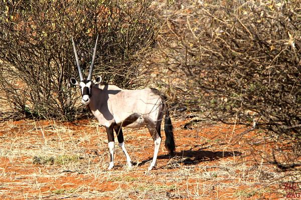 Game drive Kalahari desert, Namibia: Oryx