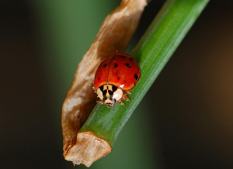 ladybugface.jpg