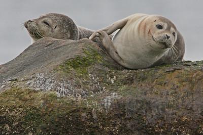 Harbor Seals - Montauk Point State Park, Montauk, NY