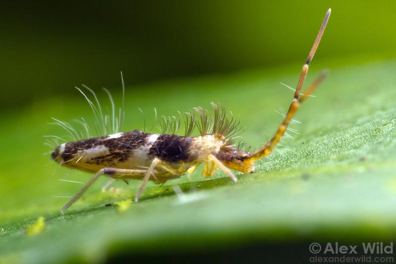 Entomobryidae