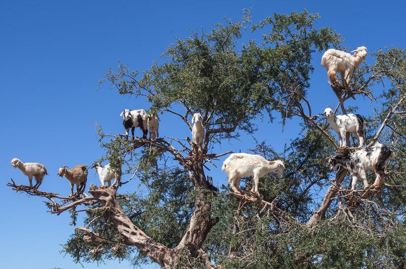 Goat Tree